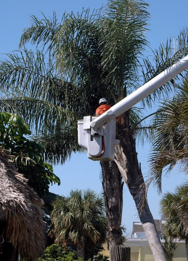 Palm Tree Trimming Service - Leinad Tree Service