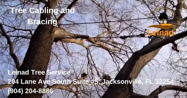 Tree Cabling and Bracing - Leinad Tree Service